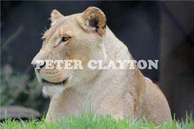 LIONESS - AFRICA R4