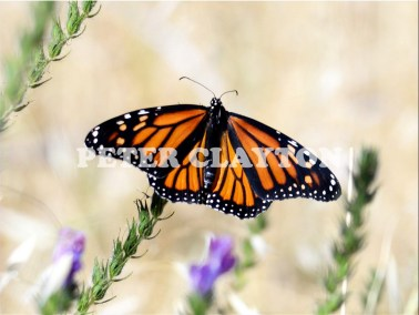 MONARCH BUTTERFLY AUSTRALIA R5