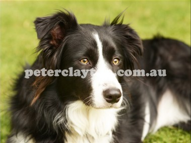 BORDER COLLIE #3 R5