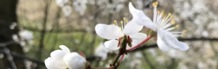 Frühlingsblüten Foto von Peter M. Haas