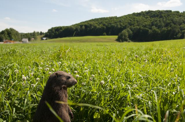 Woodchuck (marmot) in Vermont field   _