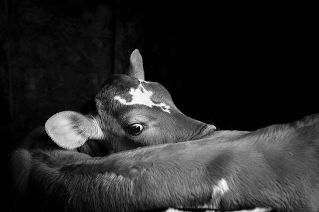 Woodard-calf