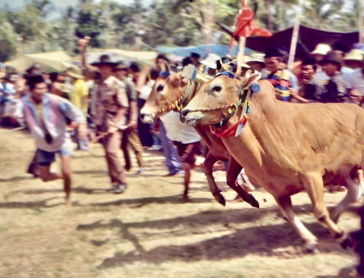 Kerapan Sapi, bull race, in Madura, Indonesia