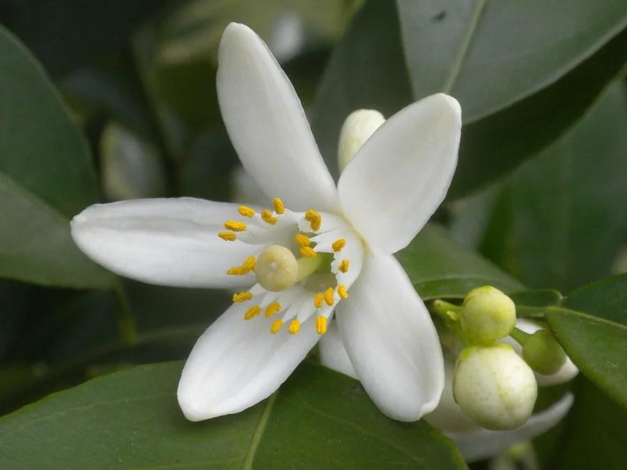 Resultado de imagem para flor de laranjeira