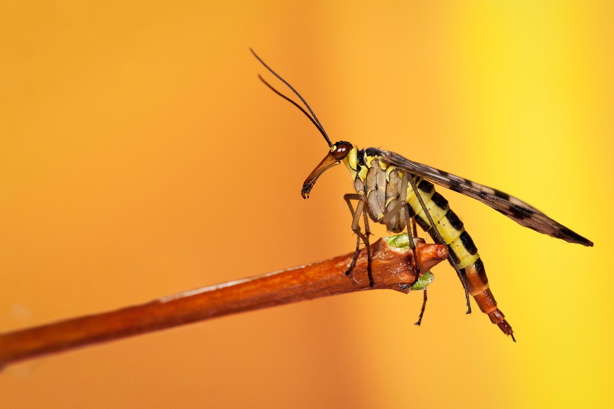 Schorpioenvlieg, insect, macrofotografie, macro, close-up, geel
