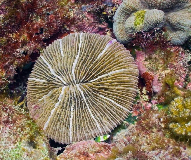 solitary_coral_fungia_fungites_IMG_0533 messersmith