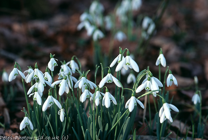 A bunch of snowdrops