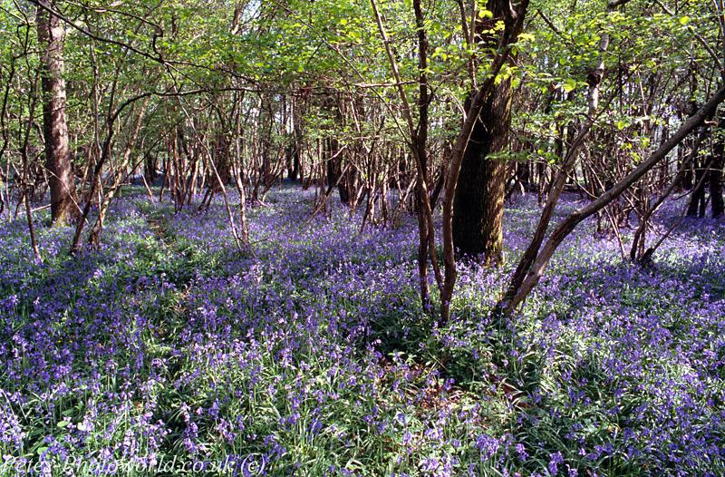 Blue Bells at Garston Wood