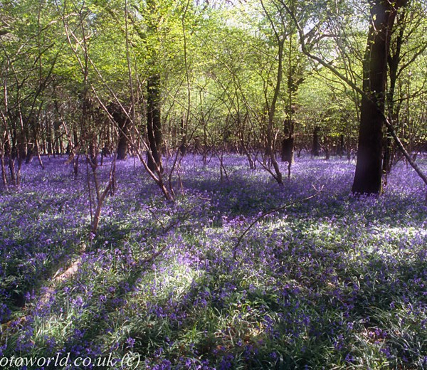Combined 2 shots of Blue Bells at Garston Wood (2)
