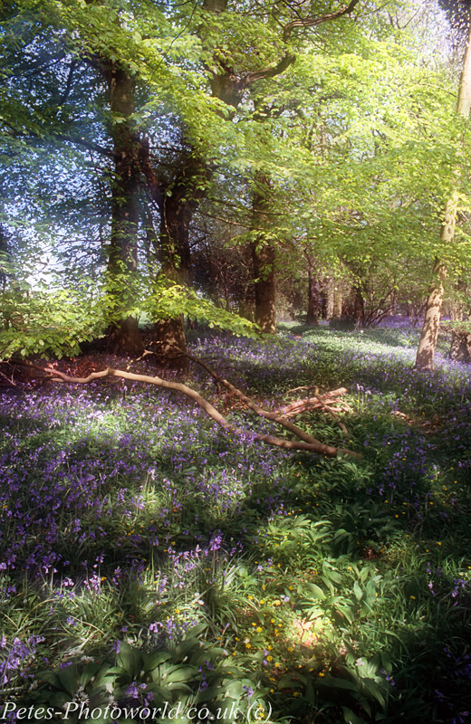Combined 2 shots of Blue Bells at Garston Wood (1)
