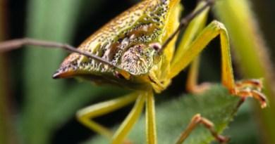 Birch Shieldbug at White Mill