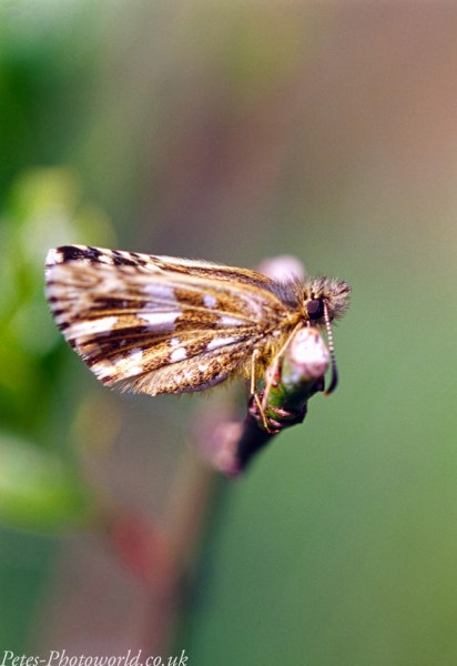 Grizzled Skipper clinging on