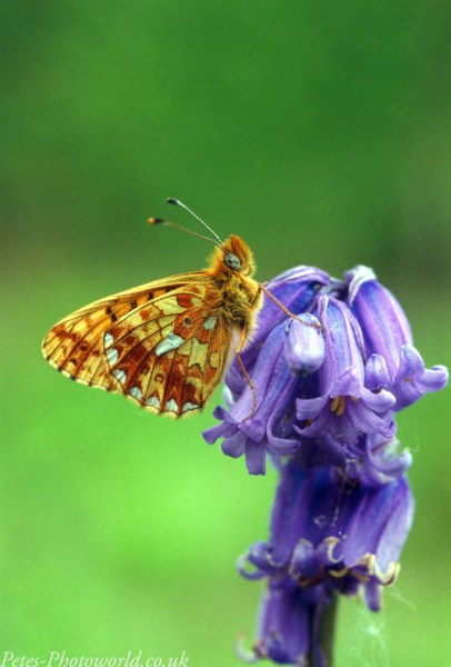 Pearl-bordered Fritillary side on