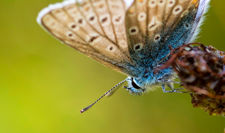 Common Blue, Kilwood