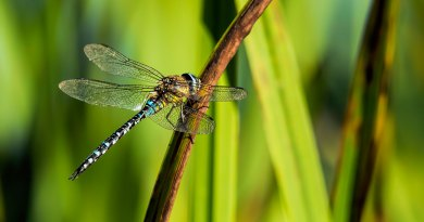 Migrant Hawker side view