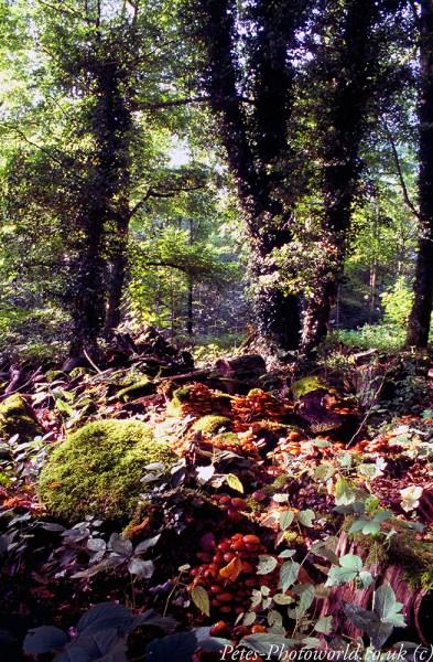 Stourhead woodland