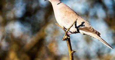 A Collared Dove