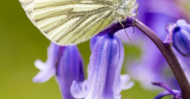 Male Green-veined White portrait (2)