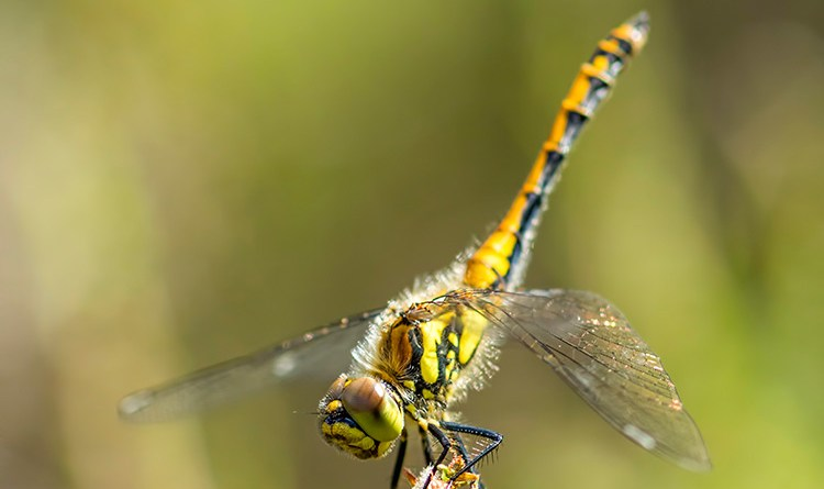 Black Darter Portrait