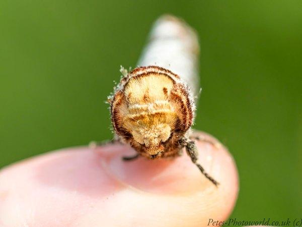 Buff tip moth head on
