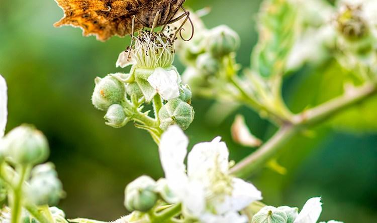 Comma butterfly (2)