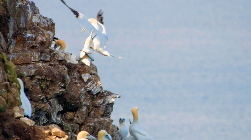 Gannets at Troup Head (2)