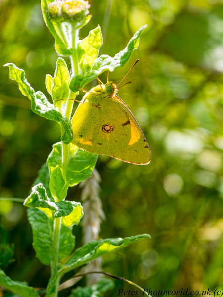 Clouded Yellow butterfly on plant