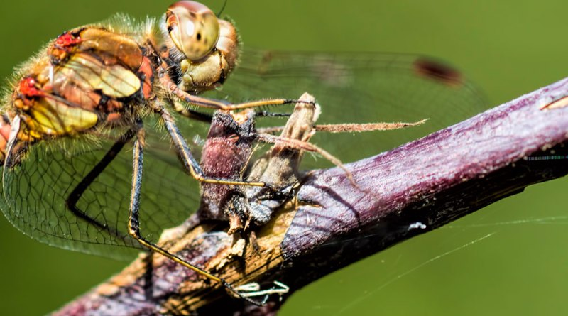 Male Common Darter (3)