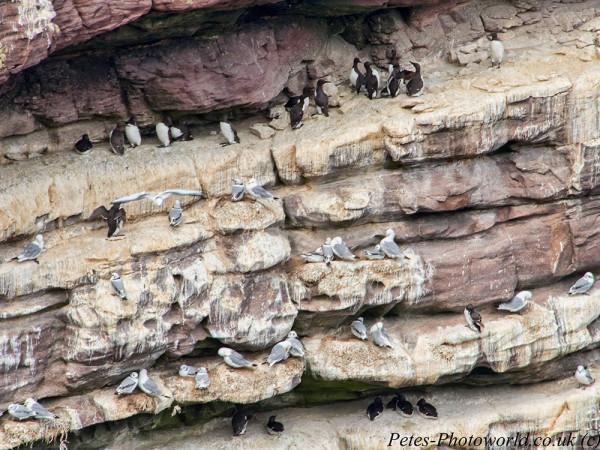 Guillemots & Gulls on cliff edge