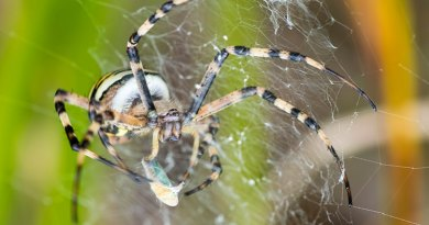 Wasp Spider with prey