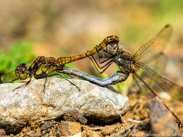 Pair of mating Common Darters