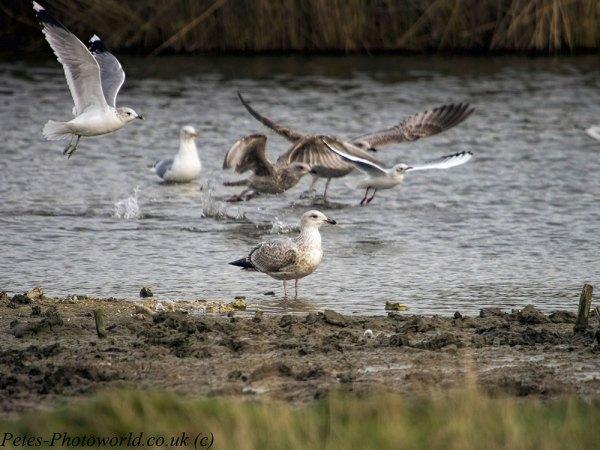 Gulls at Farlington marshes