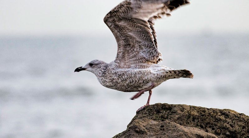 Juvenile Herring gull taking off