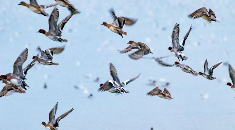 Flock of Flying Wigeon