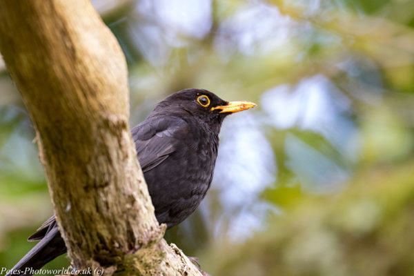 Blackbird sitting on a branch