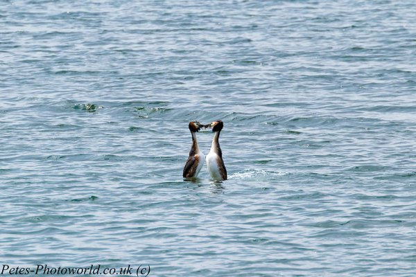 Great Crested Grebe water ballet