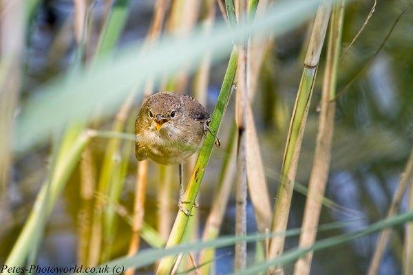 Singing Reed Warbler