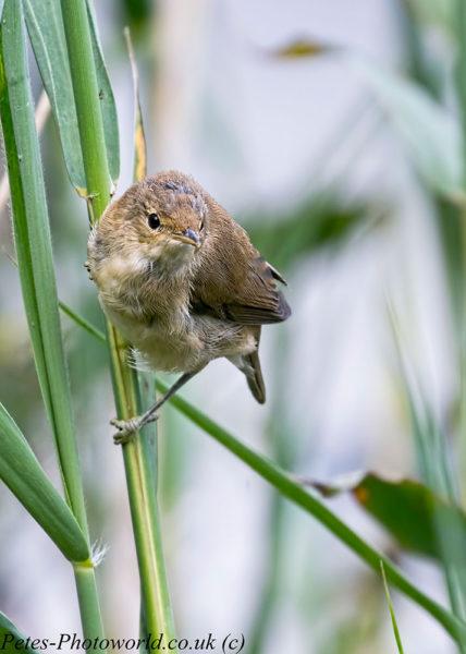 Reed Warbler portait