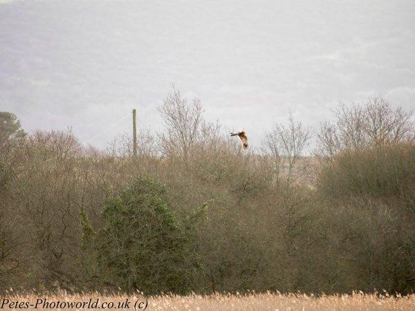 Marsh Harrier 2