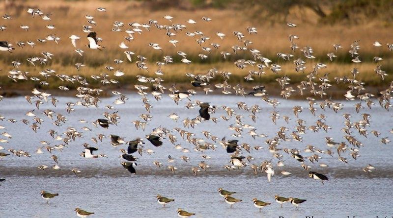 Golden Plovers & Lapwings in flight