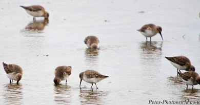 Flock of Dunlin feeding
