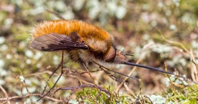 Dark-Edged Bee-Fly profile