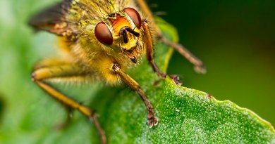 Yellow Dung Fly head shot