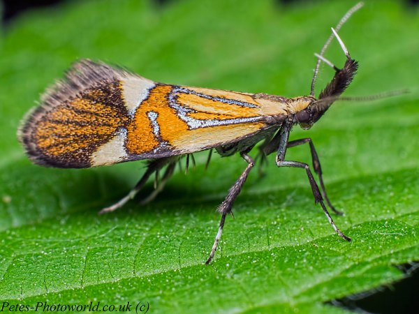 Common Tubic micro moth