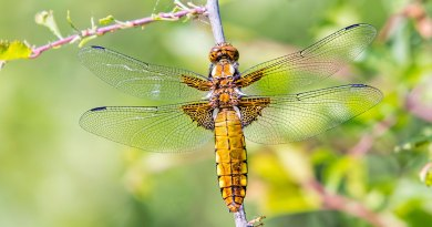 Female Broad-bodied Chaser dragonfly