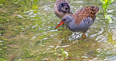 Adult & Young Water Rails