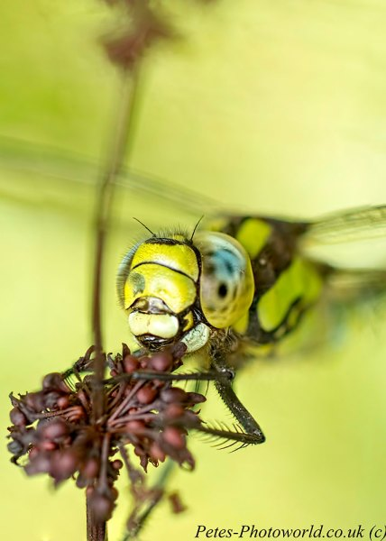 Male Southern Hawker head shot - 3 images stacked