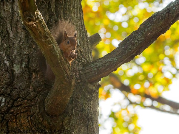 Red Squirrel in tree eating a nut