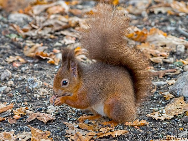 Red Squirrel on the ground