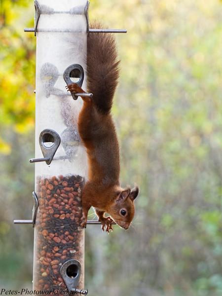 Red Squirrel on birdfeeder
